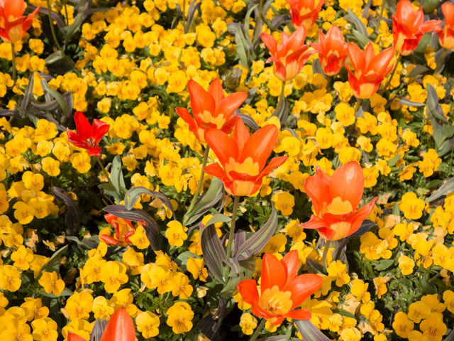 orange tulips and yellow flowers