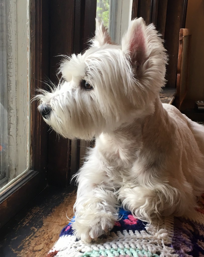 Molly the west highland terrier