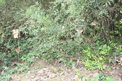 G2 - Max Rebenaque - pistacia lentisus- llentiscle
