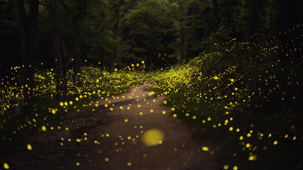 Poetry of Light. Fireflies photographed by Tsuneaki Hiramatsu