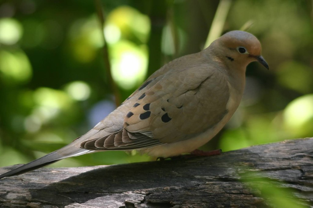 Mourning dove mourning dove photo by joe ferreira for Ca dept of fish and wildlife