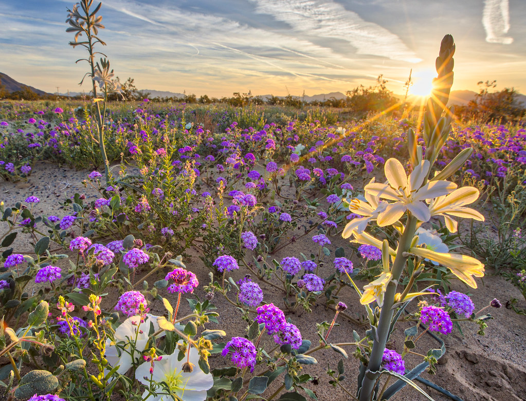 Desert Lily Preserve Desert Lilies Are Blooming By The
