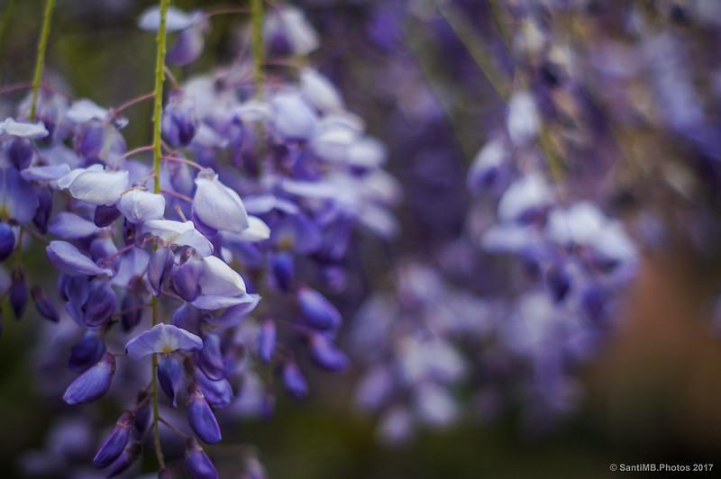 Flores de glicina