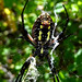 Argiope aurantia spider showing spinnerets, Cold Stream