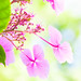 Hydrangeas in the sunshine
