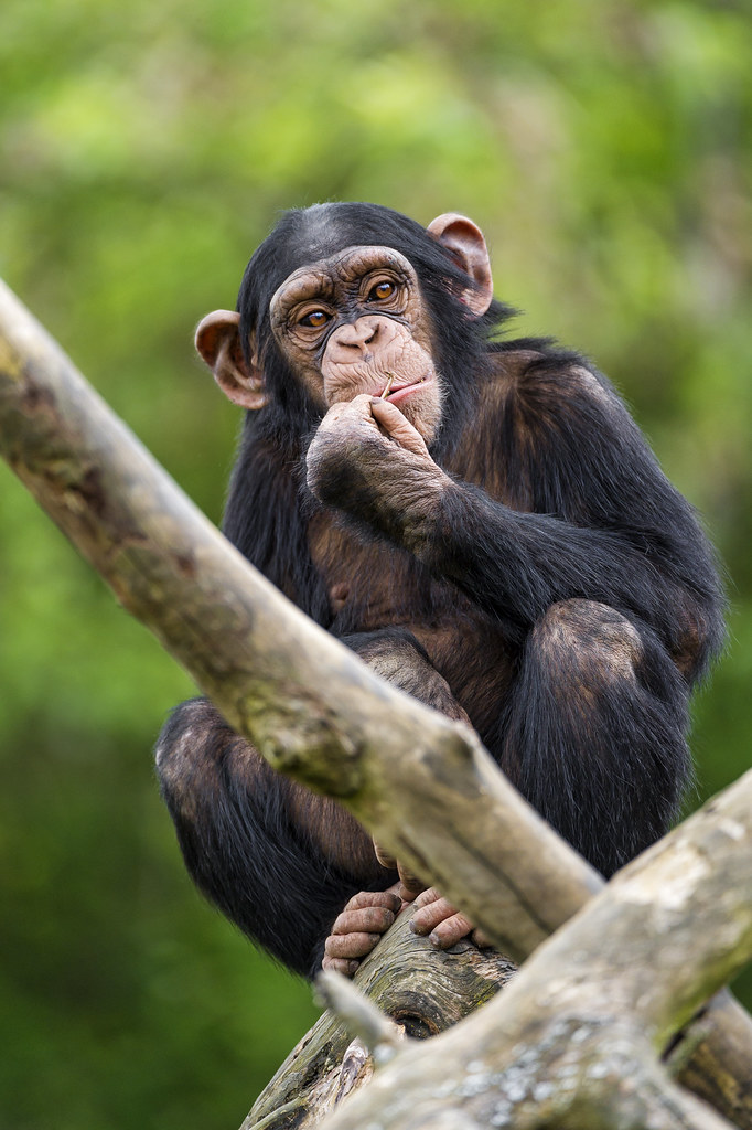 Another young chimpanzee on the tree | Another picture of ...