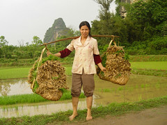 A woman carrying rice plants with shoulder pole in rural China