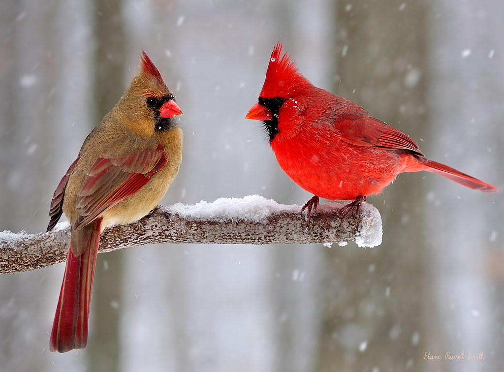 Winter northern cardinals copyright strictly enforced - Pictures of cardinals in snow ...
