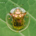 Golden-Coloured Tortoise Beetle (Aspidomorpha sp.; Cassidinae)