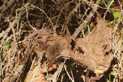 タニグチコブヤハズカミキリ