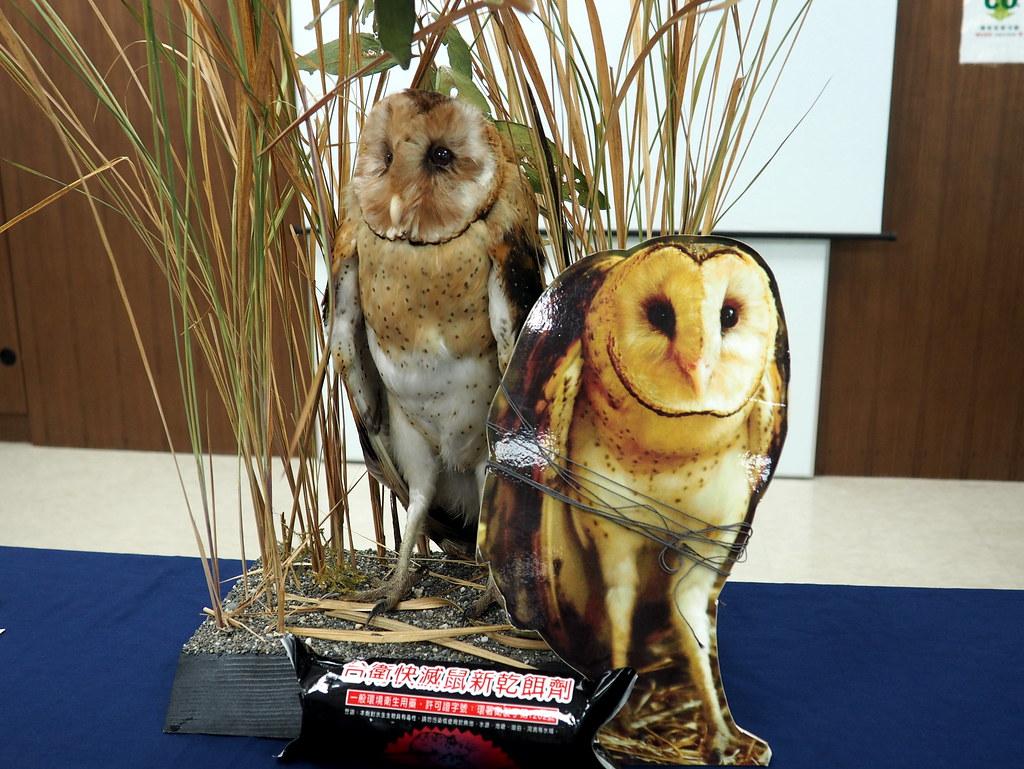 台南大內的草鴞製做成標本,化身保育大使,讓民眾認識保育類草鴞的困境。攝影:李育琴