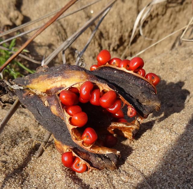 Seed pod of Gloriosa superba