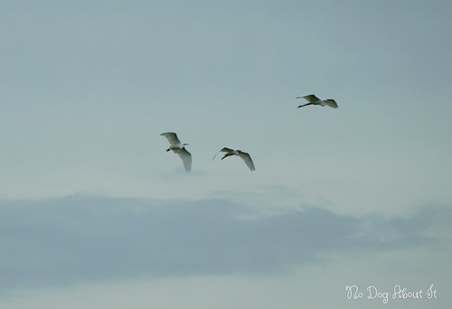 Egrets in the sky