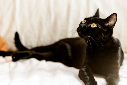 Selva, gatita Pantera guapa, estilizada y divertida esterilizada, nacida en Mayo´16, en adopción. Valencia. ADOPTADA. 32172562093_2eb5678935