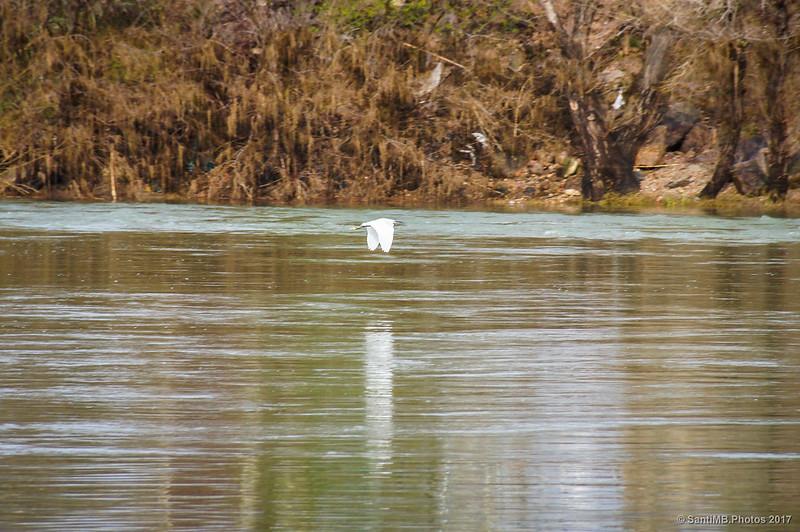 Garceta común sobrevolando el río Ebro