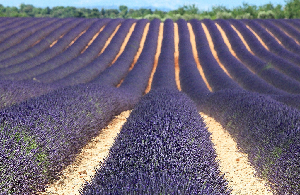 Lavender in Provence | Fields of Lavender on D56 between ...