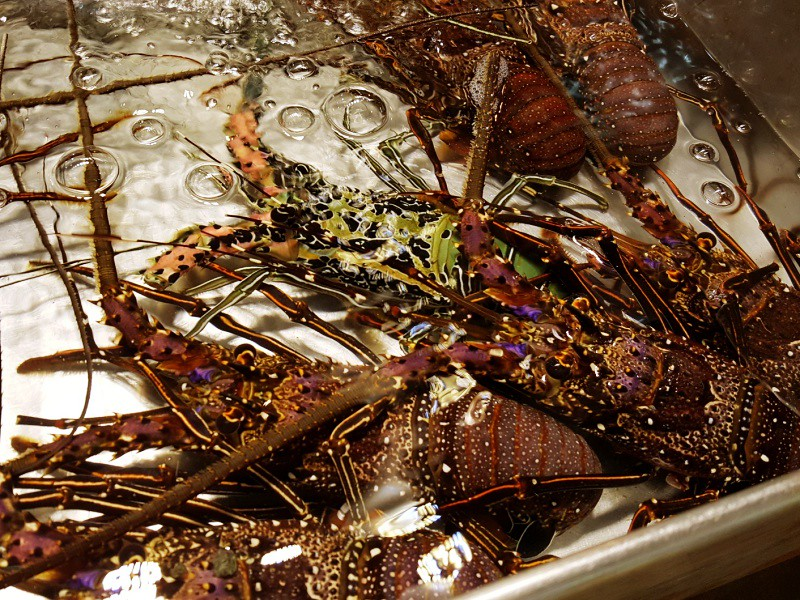 Colourful Lobsters