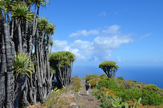 Drago tree forest, Las Tricias, La Palma