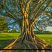 Topeekeegee Yugnee Park Hollywood Florida Banyan Tree Large Roots