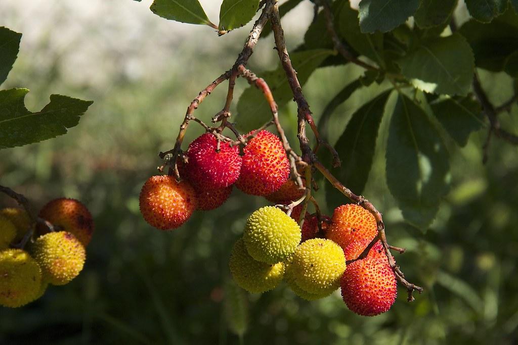 Arbouse fruit de l 39 arbousier poirier christian flickr - Fruit de l arbousier ...