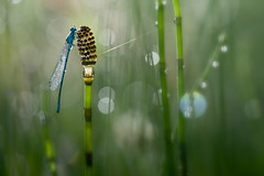 Dreamy Damselfly