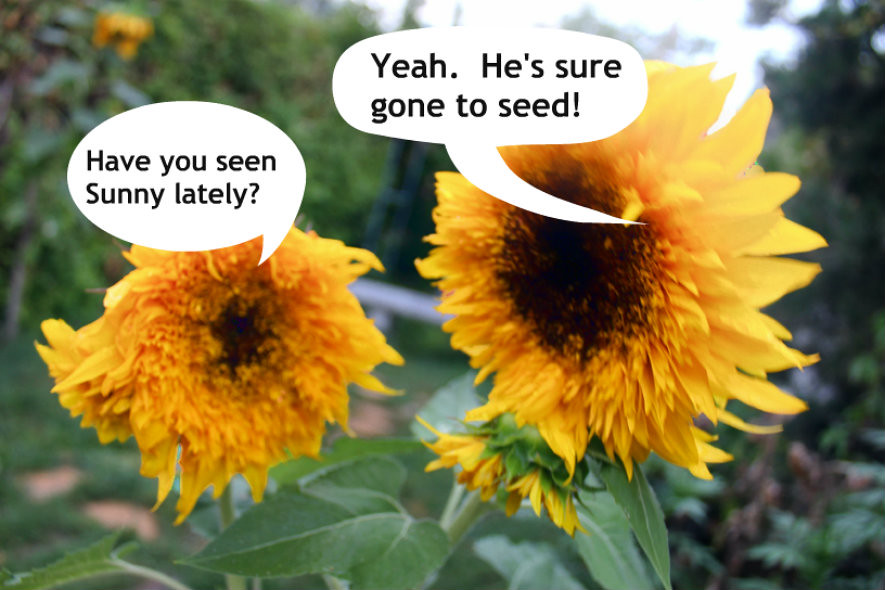 sunflower dialogue