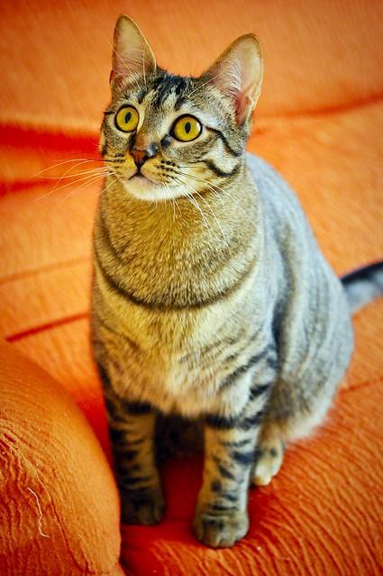 Muriel, gatita atigrada parda tímida y dulce esterilizada, de ojos cobrizos, nacida en Abril´16, en adopción. Valencia. 33204130736_b9d485e5ae_z
