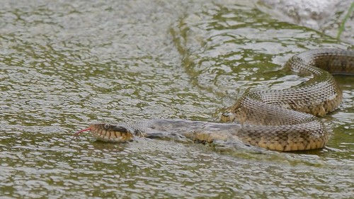 Fishing Blotched Water Snakes - 1