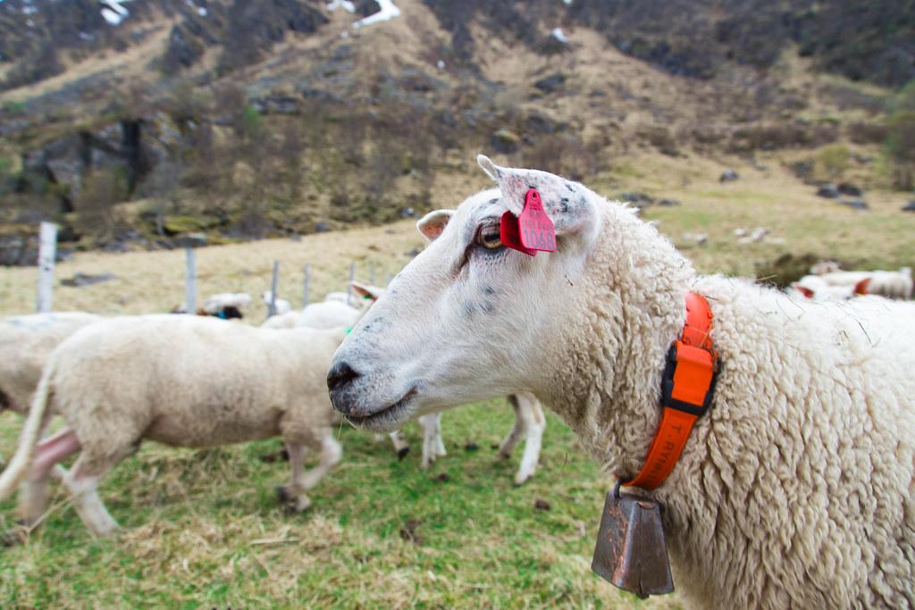 Sheep-15