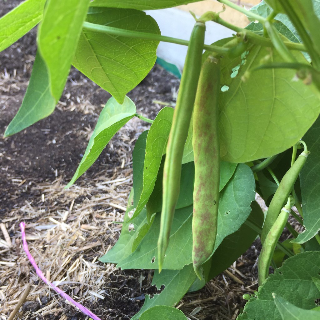 purple striped beans hanging on the bush