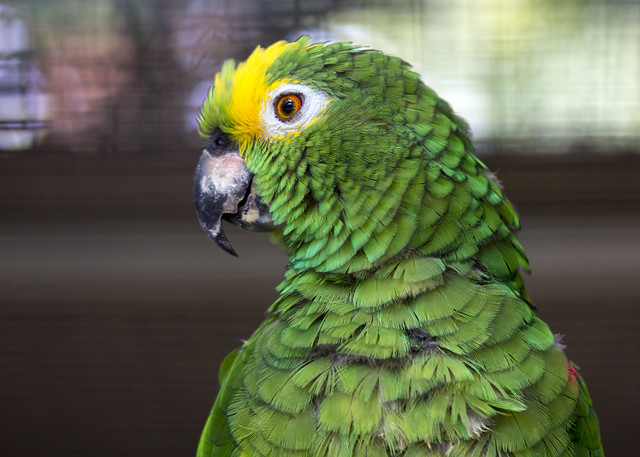 Yellow Crowned Amazon Parrot   Flickr - Photo Sharing! Yellow Crowned Amazon