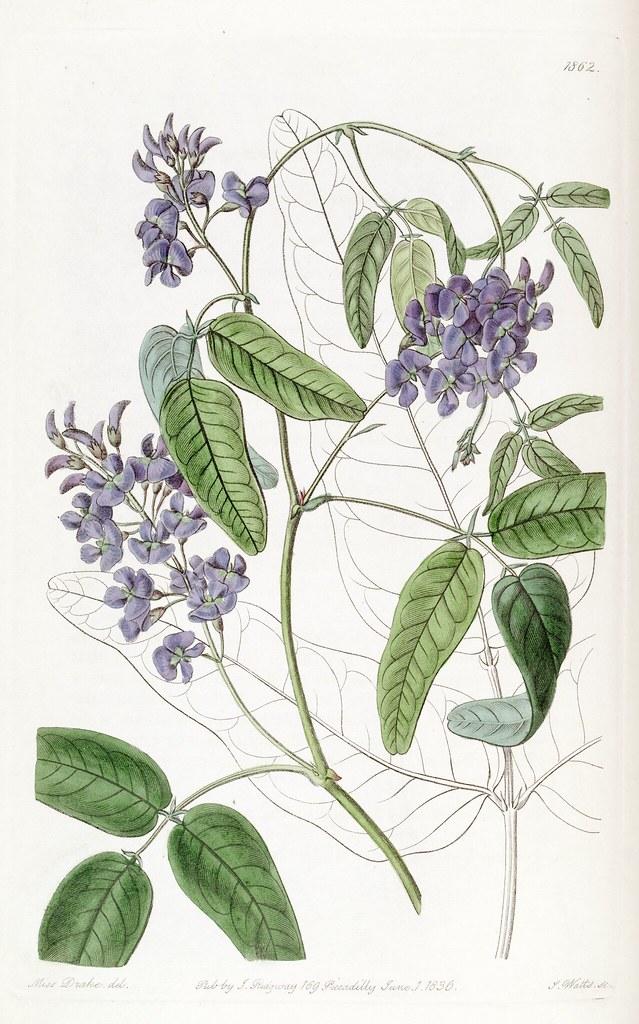 Native Wisteria, Wild Sarsaparilla. Hardenbergia comptonia ...  Native Wisteria...