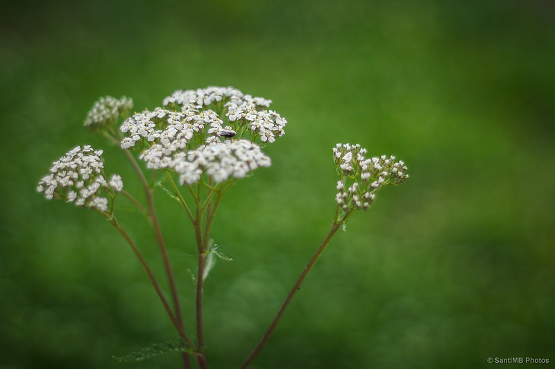 Mosca en inflorescencia