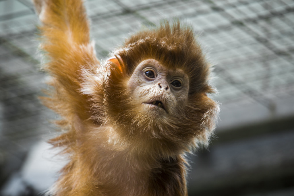 Beardy Monkey: Zoo Stuttgart Would Be Great To Get