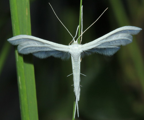 Large White Plume 9514