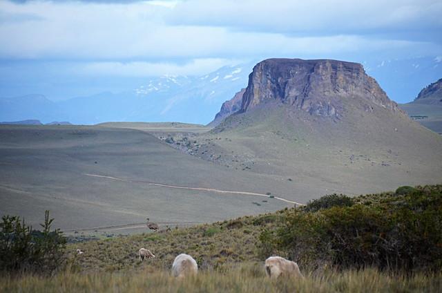 Darwin's Rhea, Coyhaique, Chile