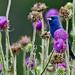 Blue grosbeak singing...
