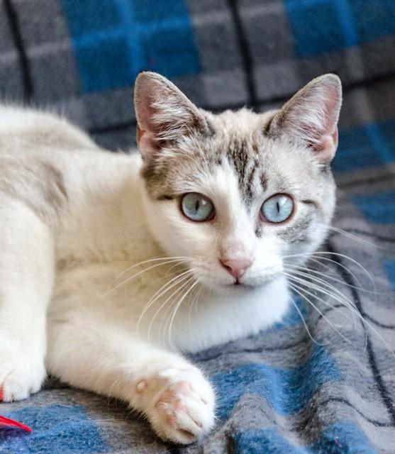 Iris, gatita cruce siamesa dulce y mimosona esterilizada, nacida en Agosto´16, en adopción. Valencia. ADOPTADA. 32938003120_8576082298_z