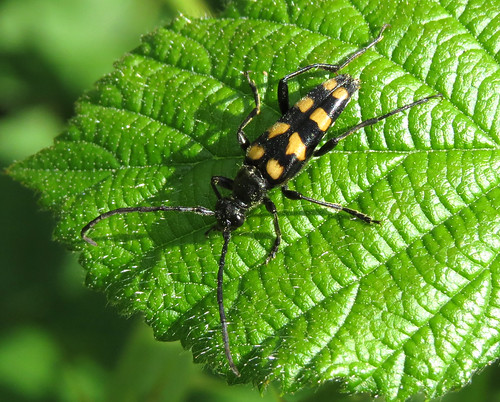 Four-banded Longhorn Leptura quadrifasciata Tophill Low NR, East Yorkshire June 2015