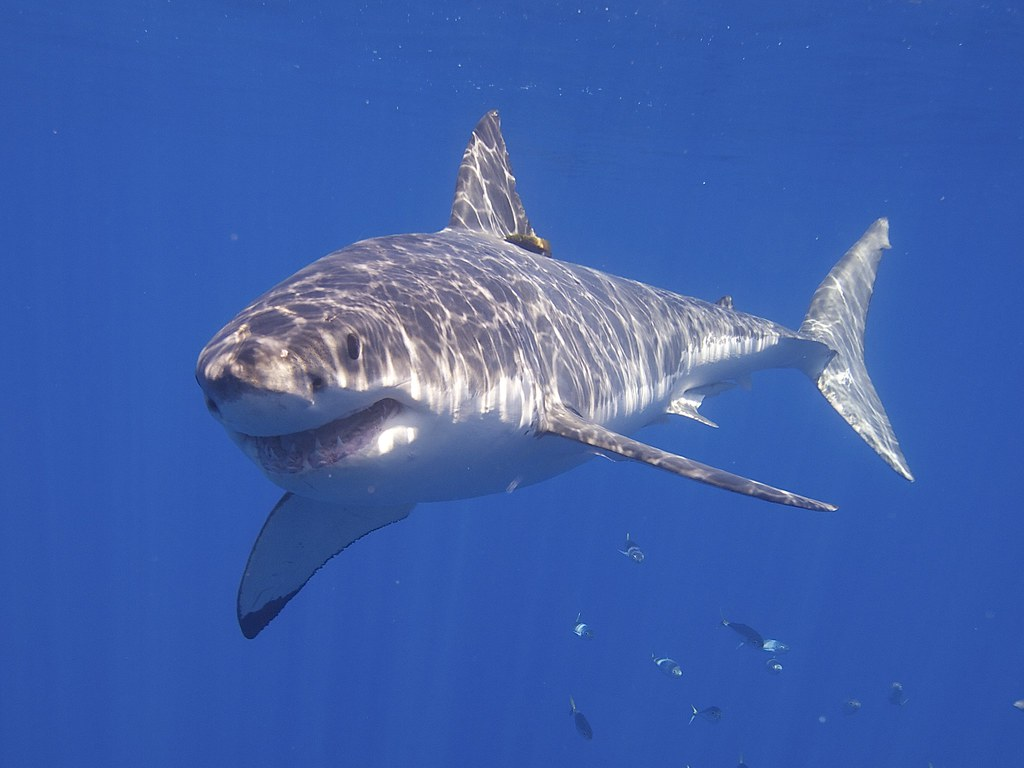 Great White Shark Myrtle Beach Mary Lee