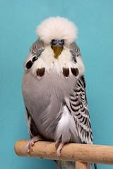 Bester Jungvogel Gegengeschlecht 1.0 Zimt grau R. Jenne (17567)