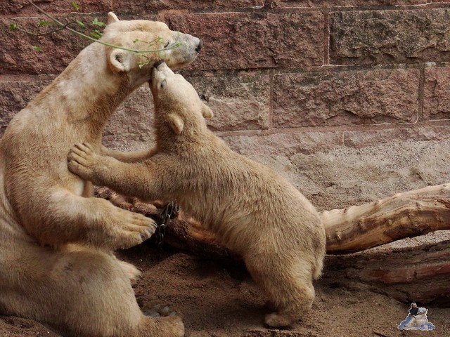 Eisbär Fiete im Zoo Rostock 14.06.2015  73