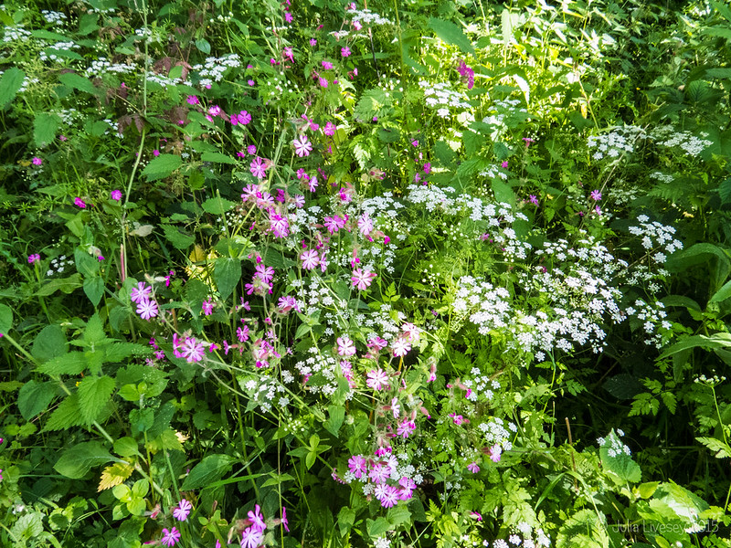 Cow Parsel and Red Campion make a pretty bouquet
