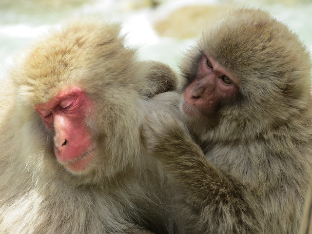 Japanese macaques (snow monkeys) at Jigokudani Monkey Park
