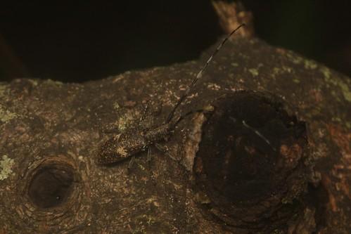 ヒメヒゲナガカミキリ