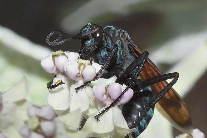 Pepsis Wasp, Tarantula Hawk
