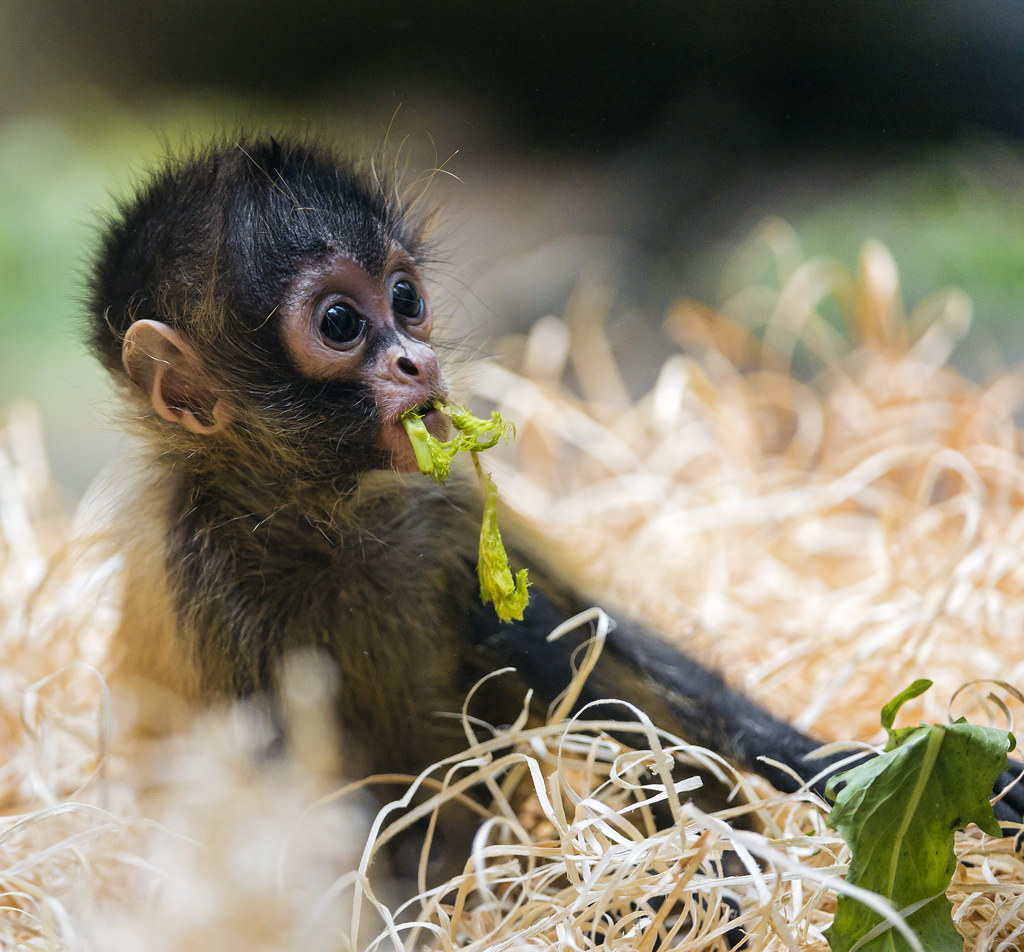 Playing funny baby spider monkey   This is also a quite cute ...