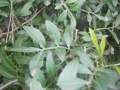 G1-Yessica Vizcaino-Pistacia lentiscus-Llentiscle