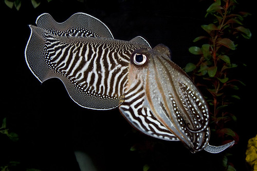 Common Cuttlefish at the Invertebrate Exhibit | by Smithsonian's National Zoo