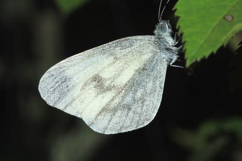 Wood White 9616